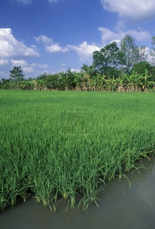 a rice field on the Mekong River