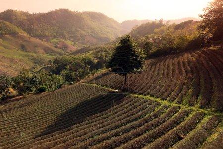 Photo pour Les plantations de thé dans le village de Mae Salong au nord de la ville de Chiang Rai dans la province de Chiang Rai dans le nord de la Thaïlande en southeastasia. - image libre de droit