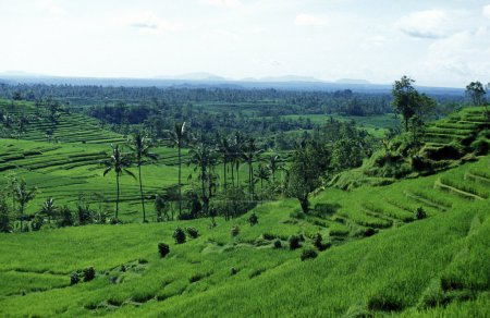 Ricefield in Tegallalang near Ubud