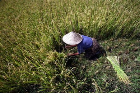 farmer in conical hat working at ricefield