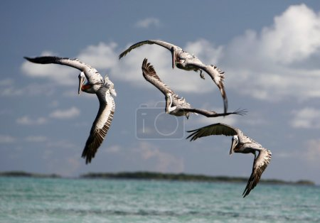 Pelicans on the Gran Roque Island