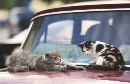 two lazy and funny cats wake up on the car