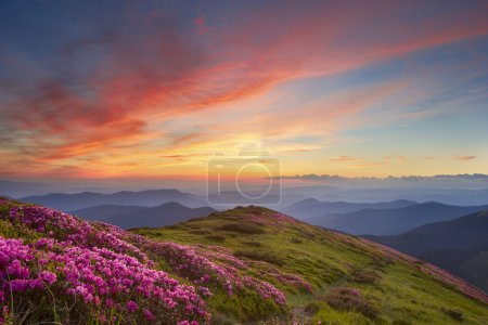 Photo pour Rhododendron in mountains on a background sunse - image libre de droit