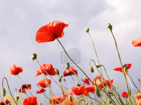 Authentic landscape of wild red poppies against the sky as backg