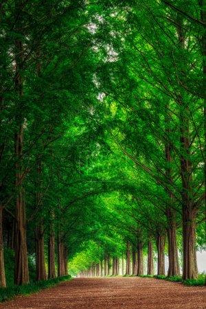 Photo pour Damyang Metasequoia Road en Corée du Sud. Pris en été . - image libre de droit