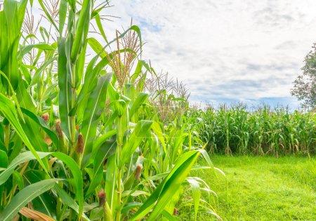 imagen del campo de maíz y el cielo en el fondo