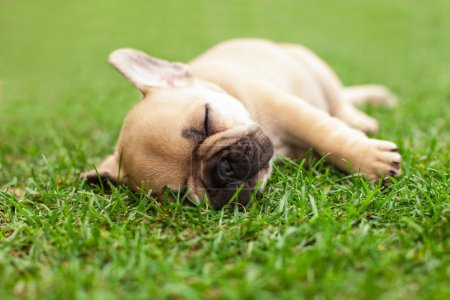 Little sleeping French bulldog puppie