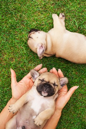 little sleeping French bulldog puppie