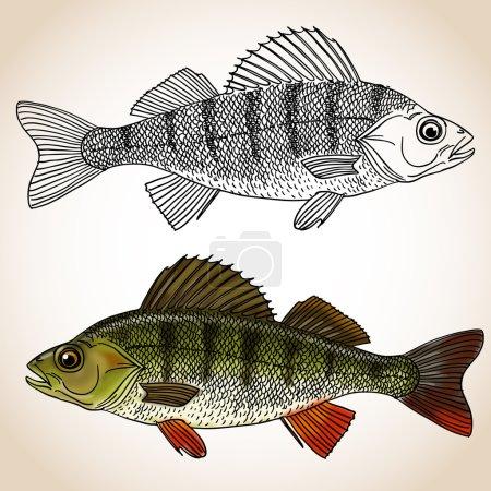 Freshwater perch fish
