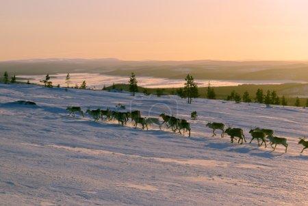 Panoramic view of a reindeer herd running uphill...