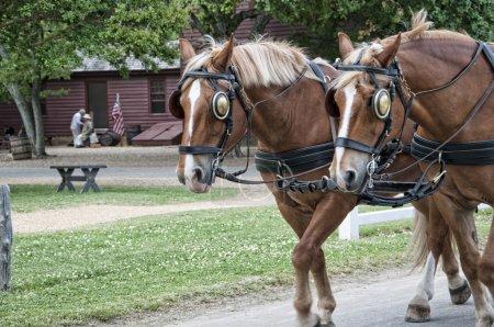 Horses in Historic Williamsburg Virginia USA