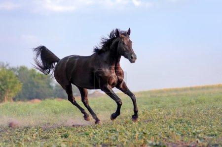 English thoroughbred horse jumping