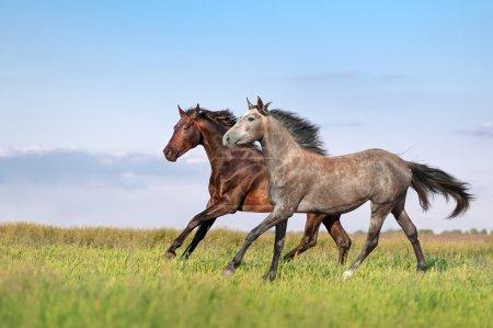 Beautiful horses galloping across the field