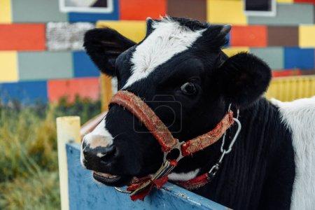 Photo pour Petit veau dans le corral à la ferme ranch, veau ourson, produits laitiers, élevage. J'ai repéré un bambin curieux dans une cage. élevage dans le village. produits naturels à base de lait et de viande - image libre de droit