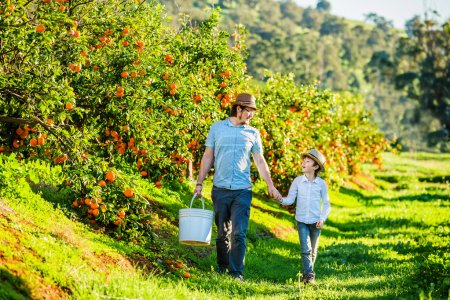 Happy father with his young son visiting citrus farm to pick oranges and mandarins