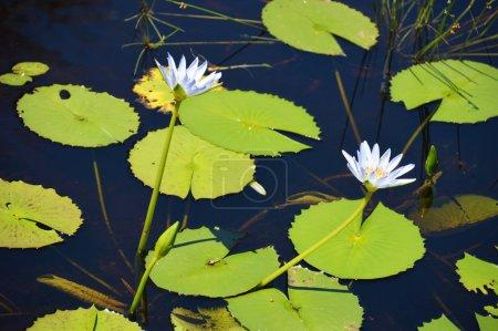 Waterlily in flower in a aquatic garden