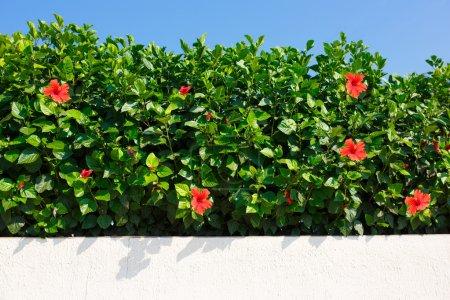 Bush green hedge wir red hibiscus flowers.