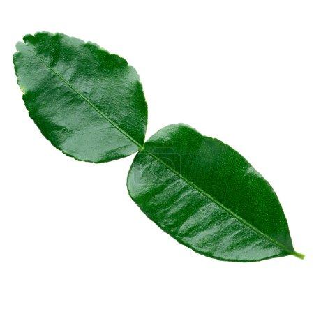Photo pour Feuille verte, Bergamote Feuille (kaffir lime) isolée sur fond blanc avec chemin de coupe. - image libre de droit