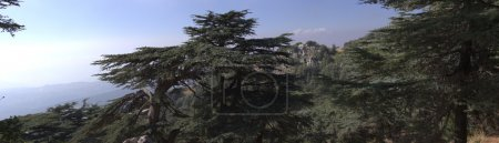 Cedar forest in Lebanon