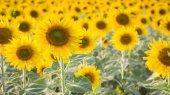 Slunečnicová pole, přírodní pozadí