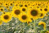 Rozkvetlé slunečnice, přírodní pozadí