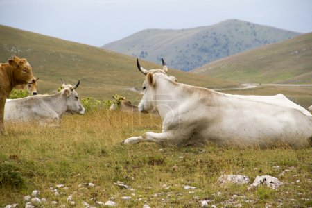 A group of bulls and cows in the nature