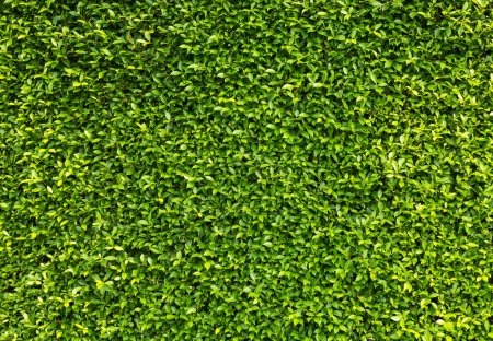 Photo for Green box hedge background with green leaves - Royalty Free Image