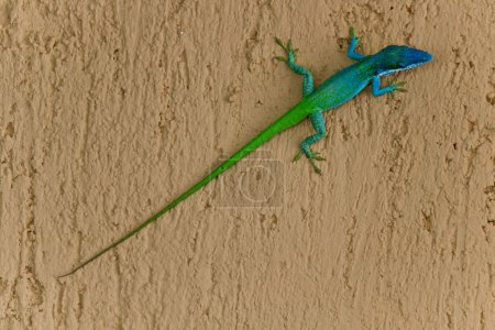Photo for A two coloured lizard with a very long tail. Image taken in Cuba, the lizard was lying on a wall. - Royalty Free Image