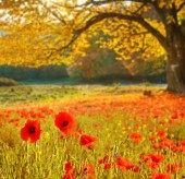 Scenic landscape with poppies flowers and trees with yellow leav