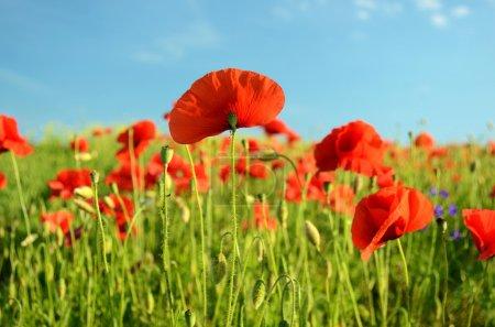 Photo pour Paysage pittoresque avec des fleurs coquelicots contre le ciel (repos, détente, méditation, soulagement du stress - concept ) - image libre de droit