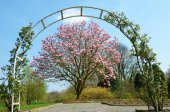 Blooming magnolia tree in the park under the arch