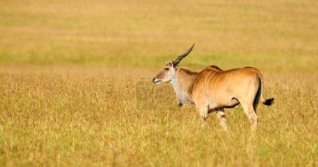 Beautiful eland grazing in the Bush