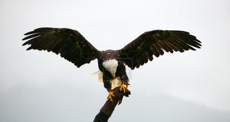 Bald eagle, falconry