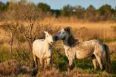 Two Camargue horses