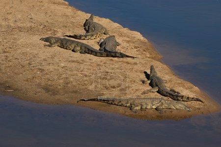 Crocodiles at Crocodile river, Kruger National Park