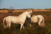 Dva bílých koní z camargue