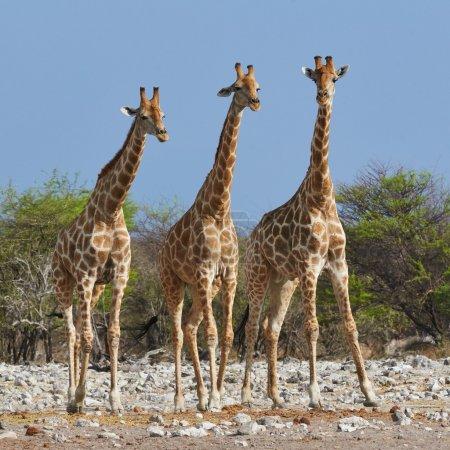 Photo pour Trois girafes côte à côte dans le parc national d'Etosha - image libre de droit