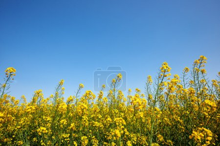 Yellow flowers of rapeseed