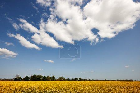 Photo pour Champ de viol et ciel avec nuages - image libre de droit