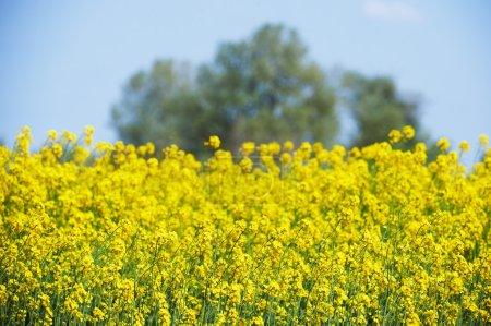Photo pour Champ de fleurs de colza jaune en Camargue intentionnellement floue - image libre de droit