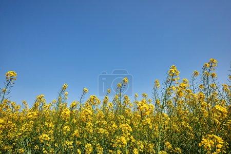 Photo pour Champ de fleurs de viols jaunes en Camargue - image libre de droit