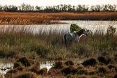 Egy fehér lovat Camargue vidékén