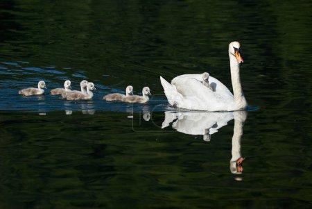 Photo pour Mère cygne et poussins, l'un sur le dos et les autres dans l'eau - image libre de droit