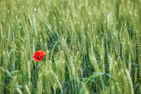 Field of wheat with a lone poppy