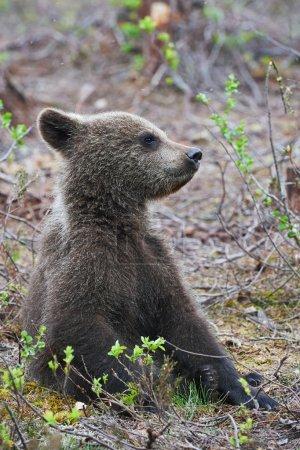 Bear cub sitting
