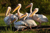 Velký pelikánů bílých