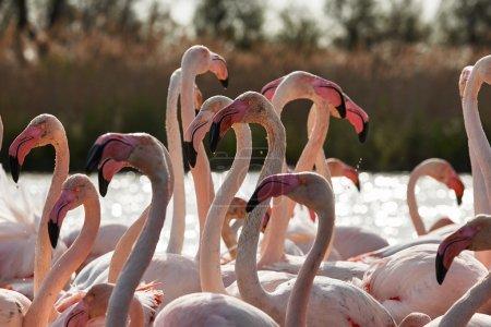 Heads, necks and beaks of flamingos