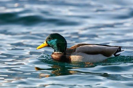 Male mallard swimming