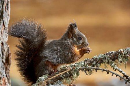 European squirrel eating
