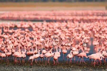 Photo pour Grand troupeau de flamants dans un lac alcalin dans la vallée du rift - image libre de droit